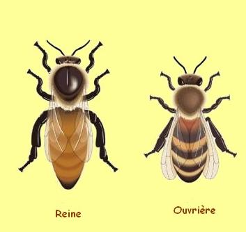 épigénétique abeilles