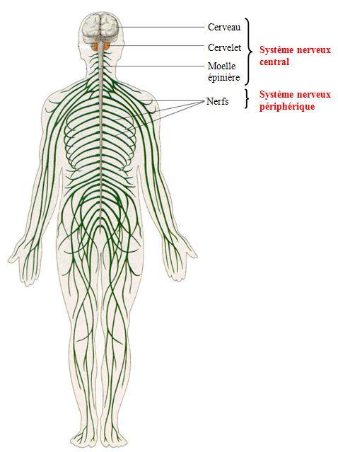 système nerveux sommeil santé