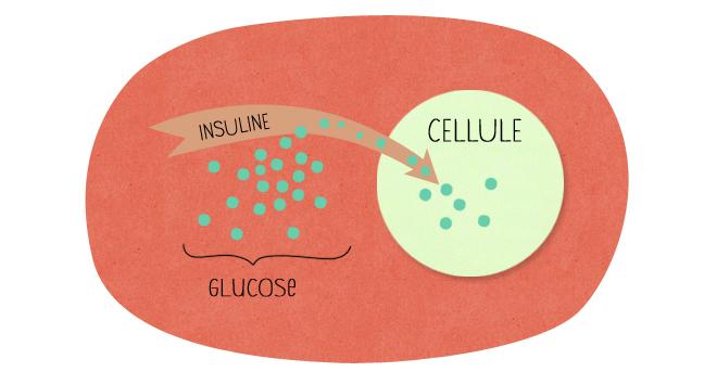 sucre cellule insuline