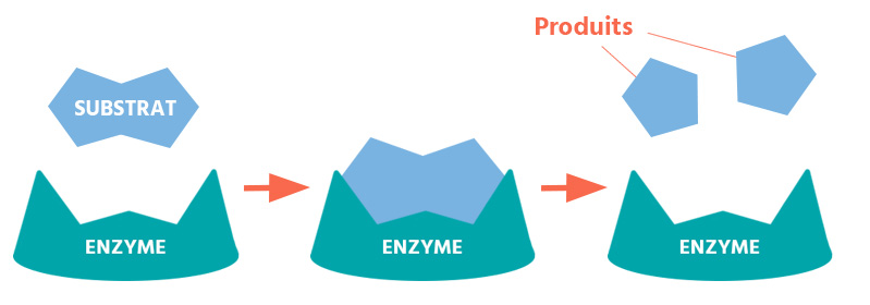 enzyme destruction cuisson