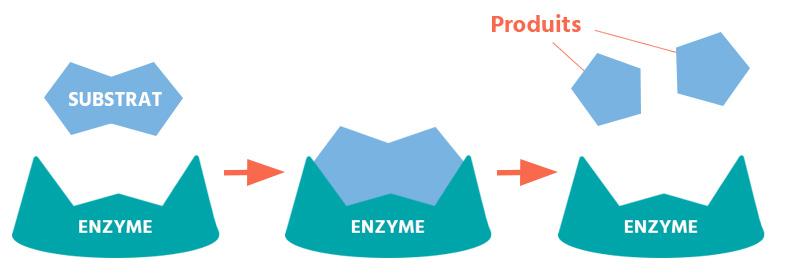 enzyme destruction cuisson